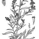 Image of white sagebrush