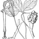 Image of Jack in the pulpit
