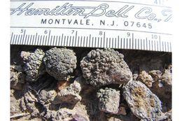 Image of desert aspicilia