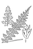 Image of little spleenwort