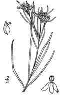 Image of horsetail milkweed