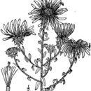Image of largeflower aster