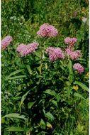 Image of swamp milkweed