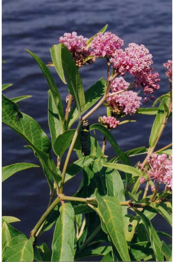 Image of swamp milkweed