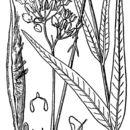 Image of fewflower milkweed