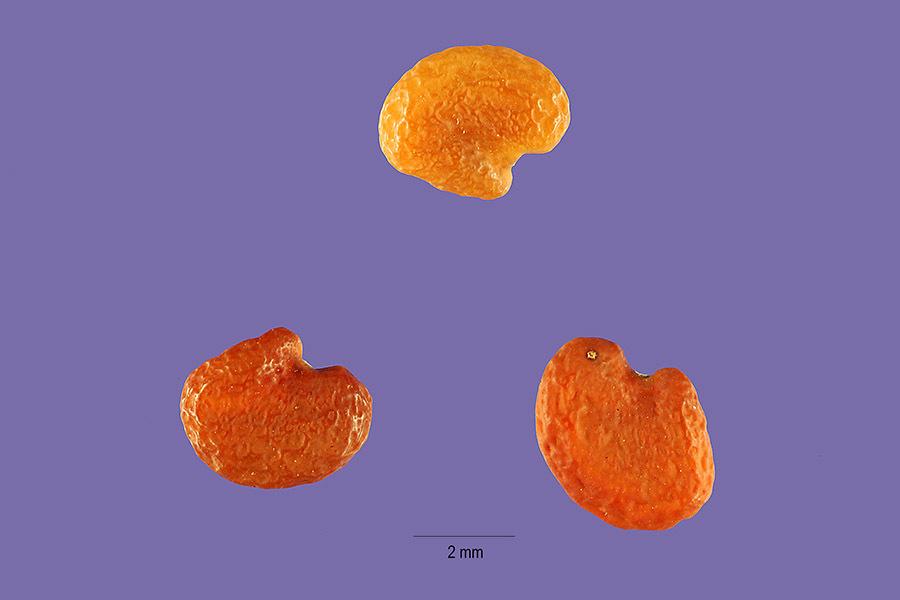 Image of Santa Barbara milkvetch