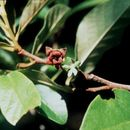 Image of smallflower pawpaw
