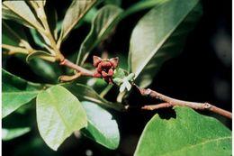 Image of smallflower pawpaw