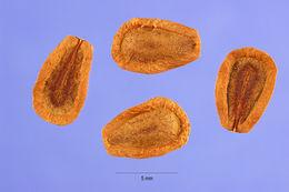 Image of common milkweed