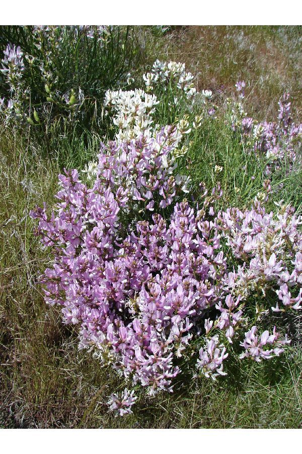 Image of Toano milkvetch