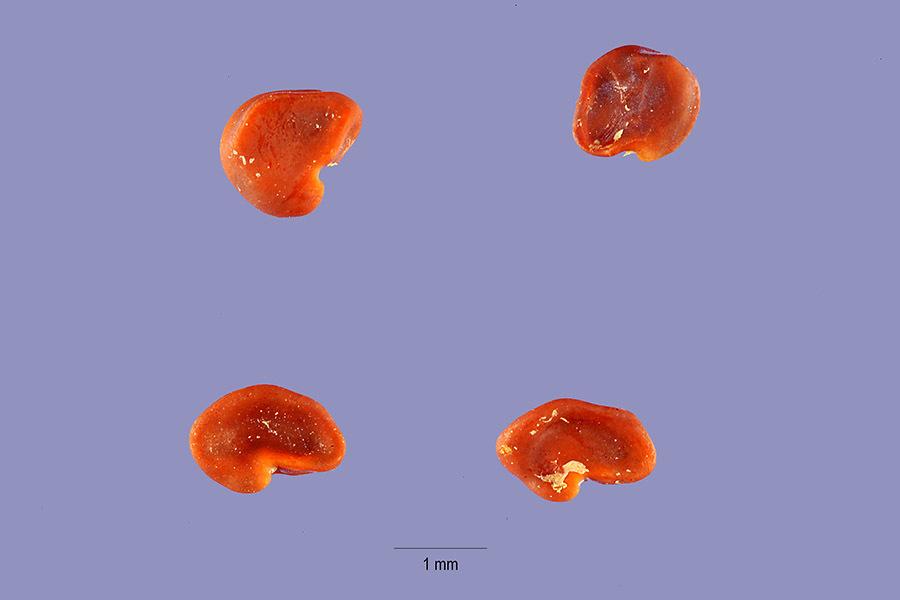 Image of Utah milkvetch