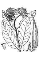 Image of redring milkweed