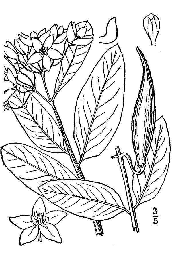 Image of green antelopehorn