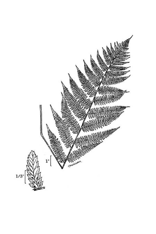 Image of common ladyfern