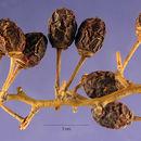 Image of <i>Berchemia scandens</i> (Hill) K. Koch