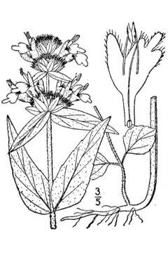 Image of downy pagoda-plant