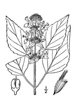 Image of hairy pagoda-plant