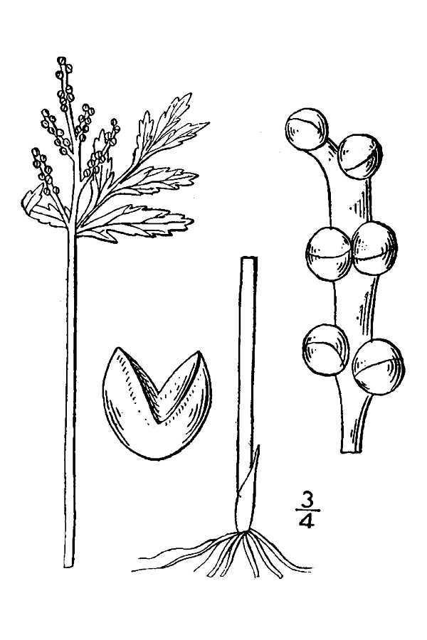 Image of lanceleaf grapefern