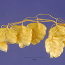 Image of perennial quakinggrass