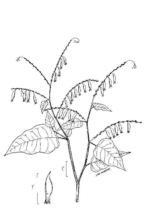 Image of American buckwheat vine