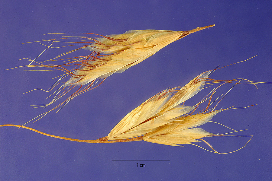 Image of hairy brome