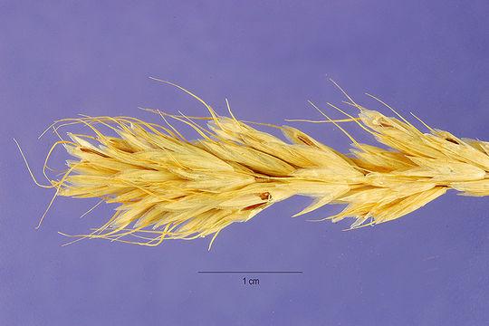 Image of broom brome