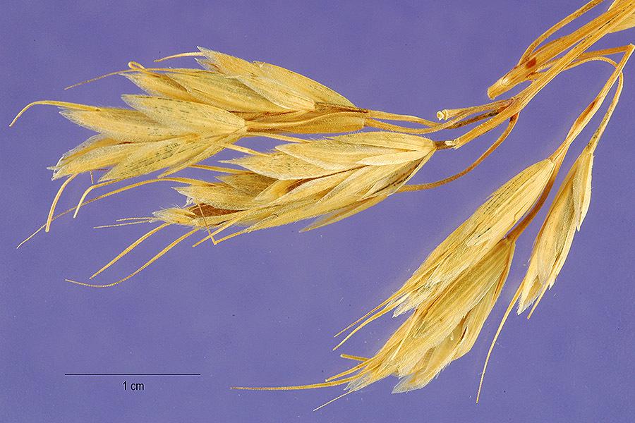 Image of <i>Bromus squarrosus</i> L.