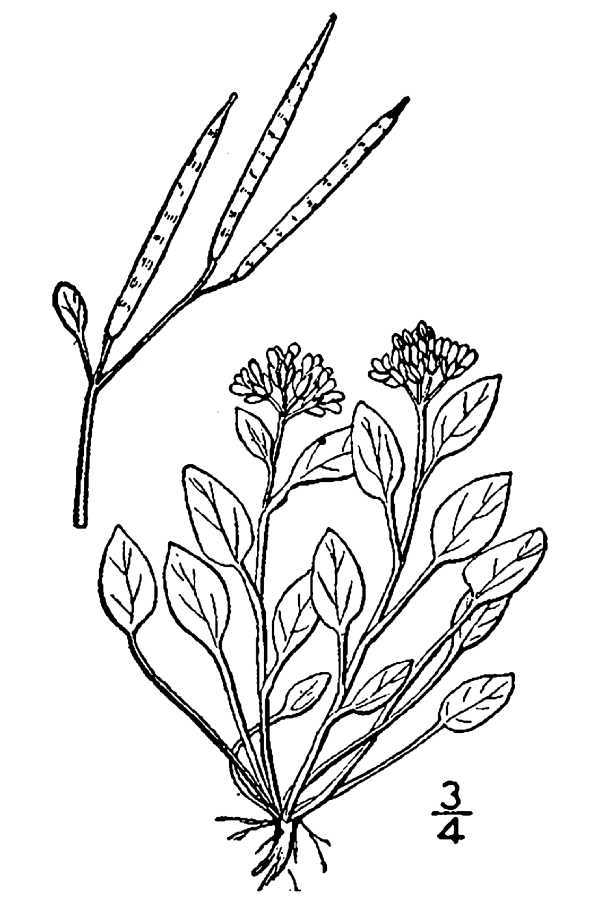 Image of alpine bittercress