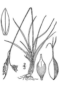 Image of <i>Carex capillaris</i> L.