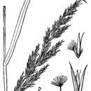 Image of reedgrass