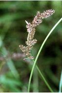Image of cypressknee sedge