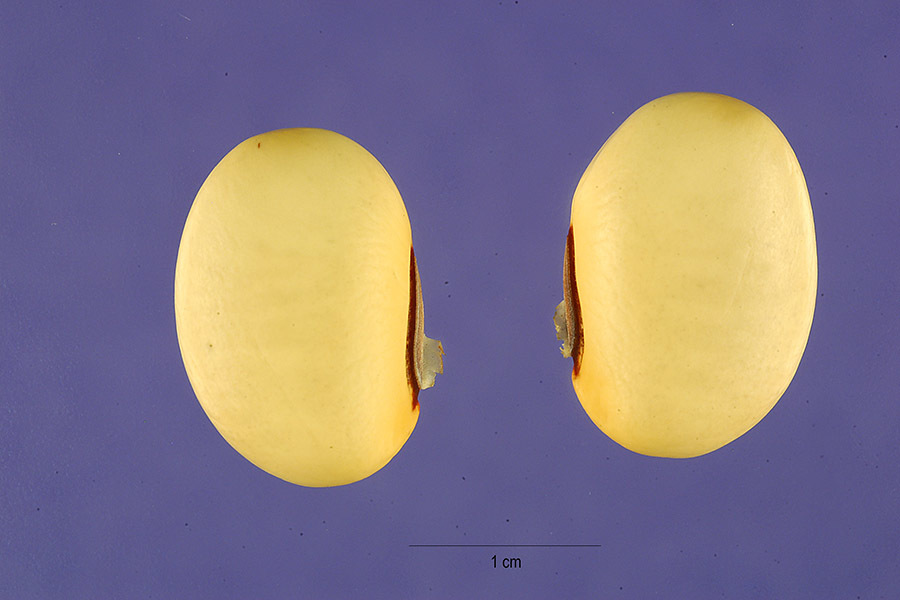Image of Horse Bean
