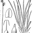 Image of Hudson Bay sedge