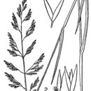 Image of Pickering's reedgrass