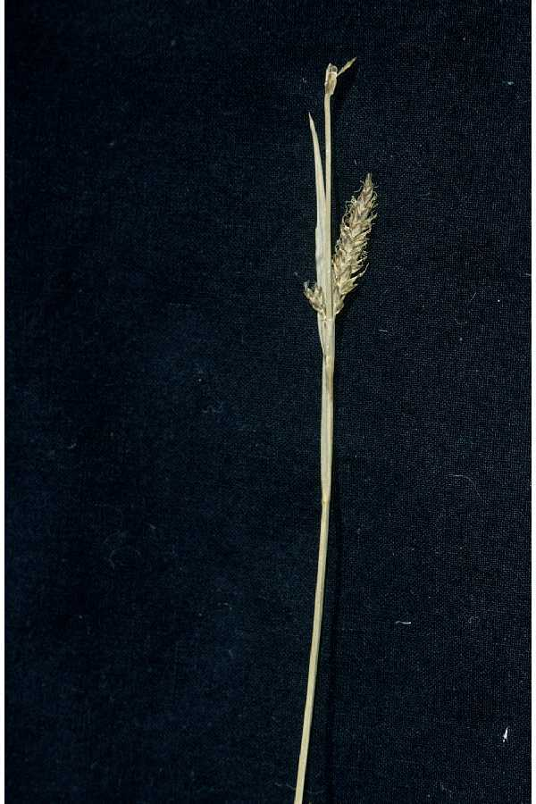 Image of variable sedge