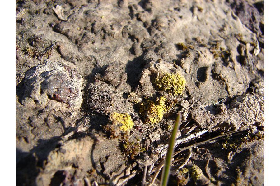 Image of Tolmin's orange lichen