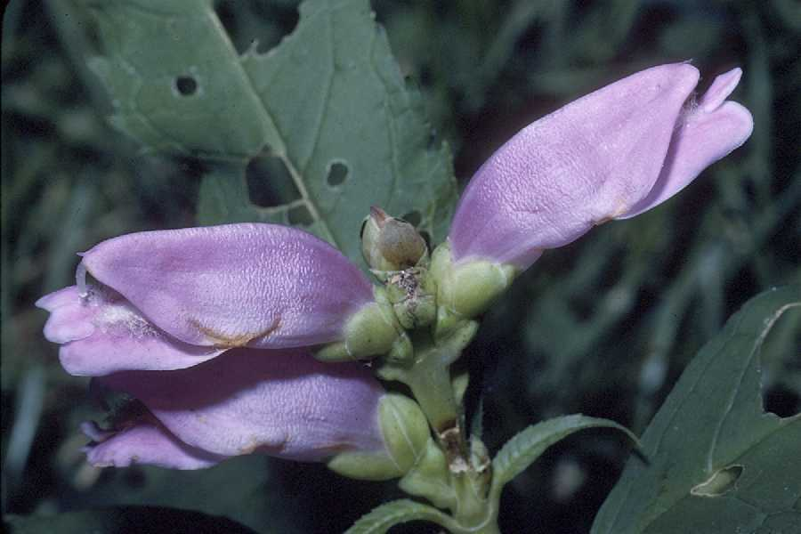 Image of red turtlehead