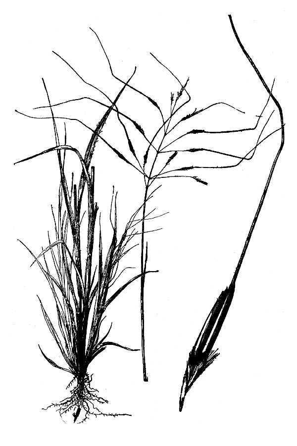 Image of Florida false beardgrass