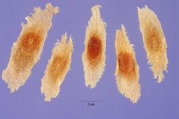 Image of <i>Cinchona pubescens</i> Vahl