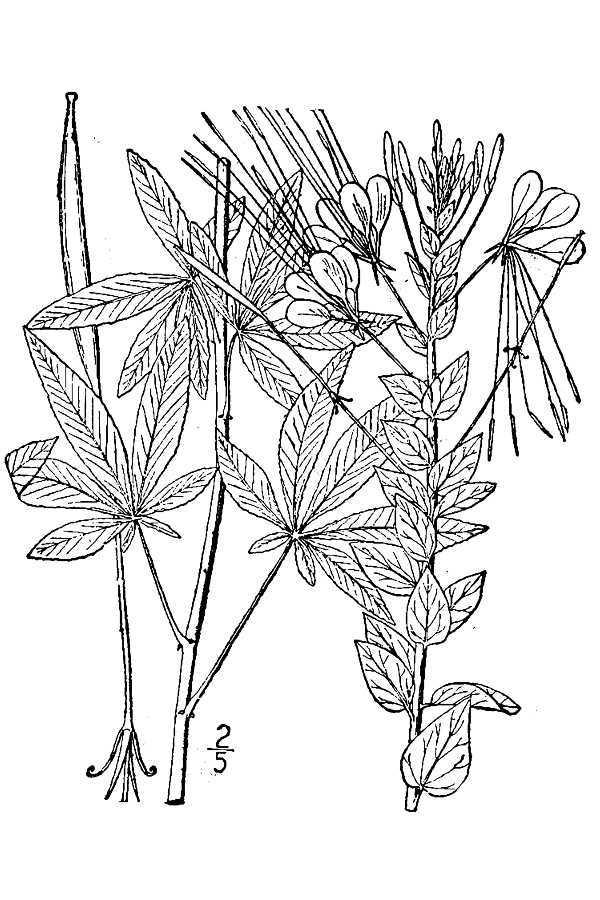 Image of spiny spiderflower