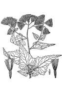 Image of tasselflower brickellbush