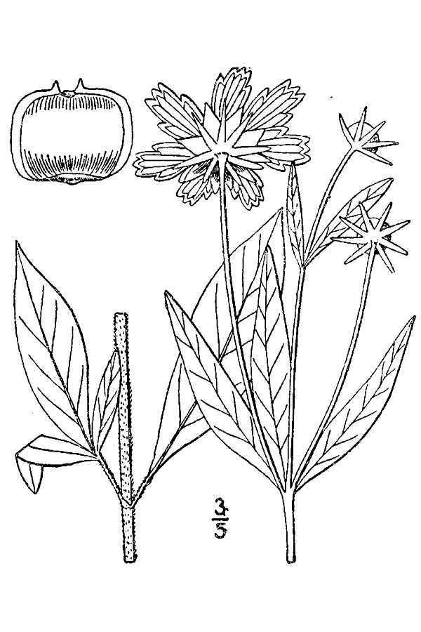 Image of star tickseed