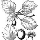 Image of grove hawthorn