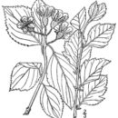 Image of Miss Vail's hawthorn