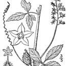 Image of cutleaf cyclanthera