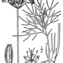 Image of Nuttall's biscuitroot