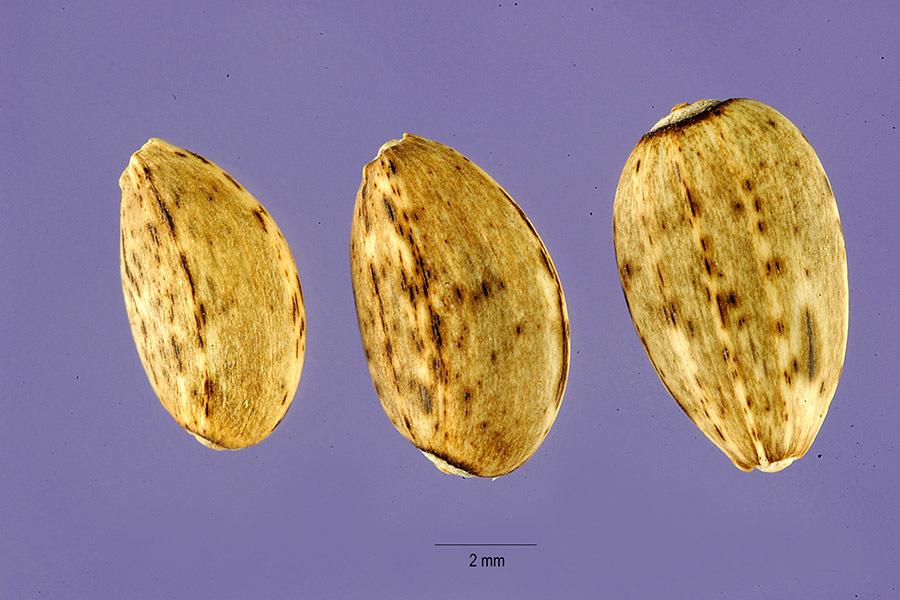 Image of globe artichoke