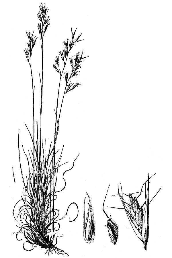 Image of poverty oatgrass