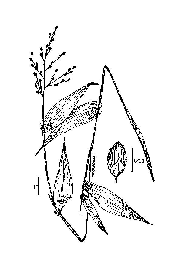 Image of broadleaf rosette grass