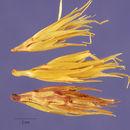 Image of viper grass